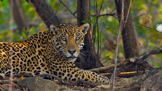 """Así funciona la """"caza bajo demanda"""" de jaguares para el comercio ilegal"""