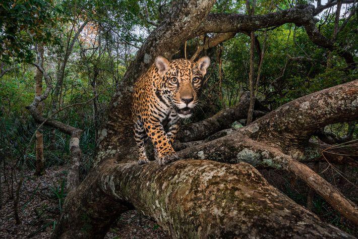 Cría de jaguar