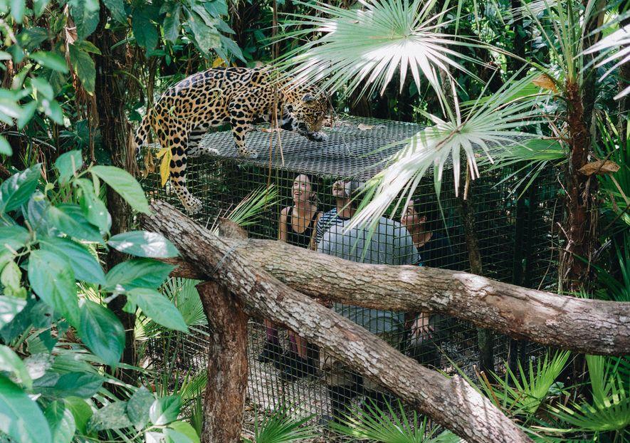 Los turistas observan al famoso jaguar Junior Buddy en el zoo de Belice.