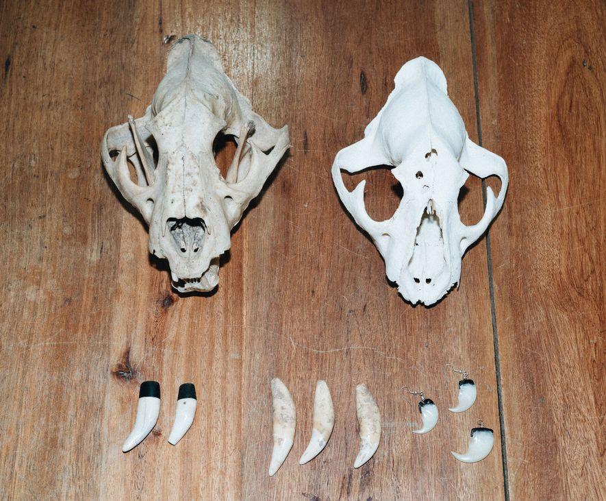 Partes de jaguares ilegales incautadas por el Ministerio Forestal de Belice.