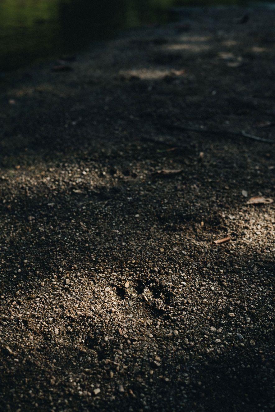 Huellas de jaguar en la orilla de un río, en la reserva de fauna silvestre de ...