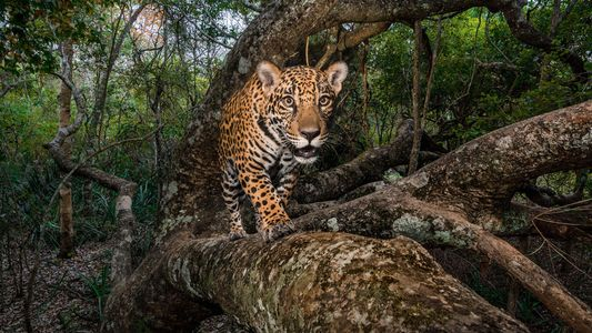 La lucha por salvar un corredor fundamental para la conservación de los jaguares