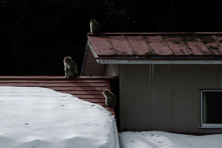 Macacos japoneses en Iitate, Fukushima