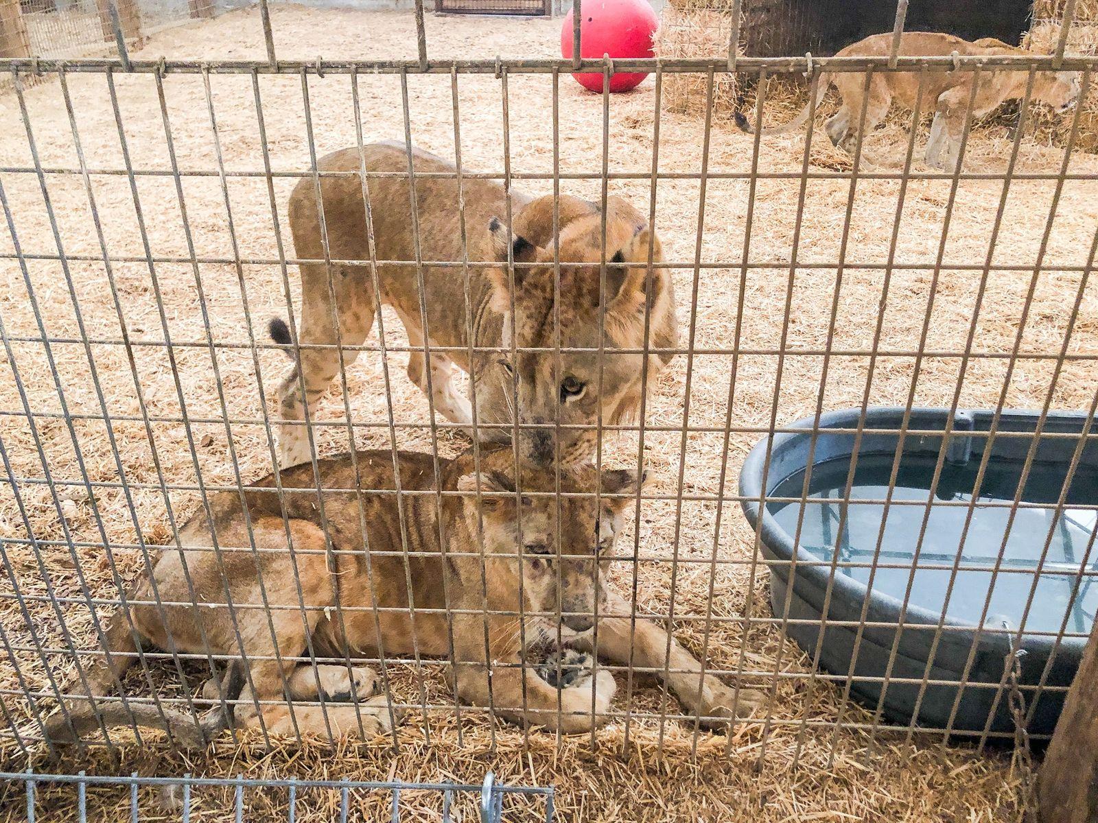 Los leones Nala y Leo