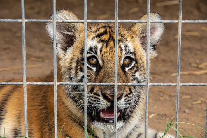 Un cachorro de tigre en el zoo de G.W.