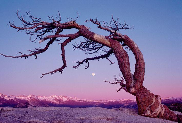 El pino de Jeffrey del Parque nacional de Yosemite