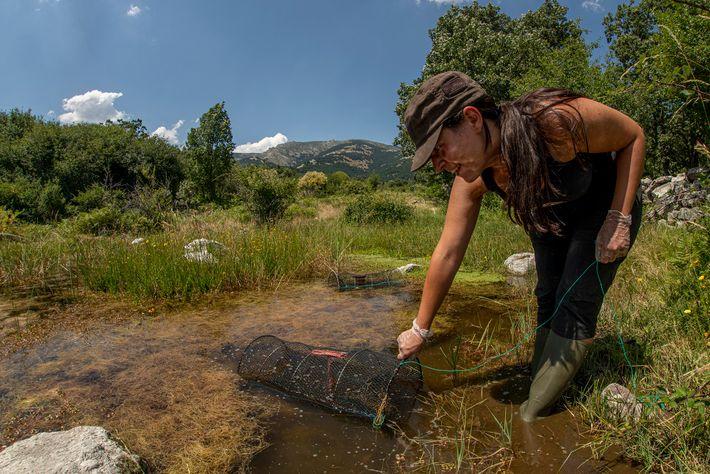 La responsable de los muestreos de campo,Lourdes del Horno Sempere, monitoreala sueltadel pasado año mediante el ...