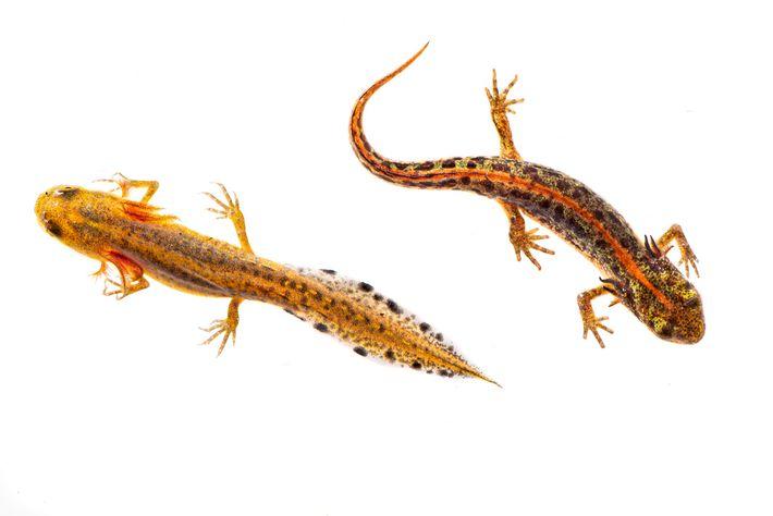 larvas de Tritón pigmeo