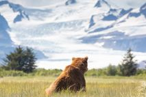 Un oso pardo descansa entre las cárices de Hallo Bay, Alaska