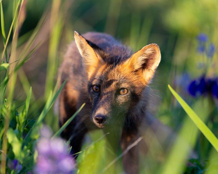 Un zorro rojo