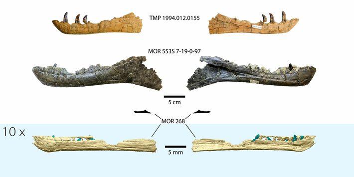 Reconstrucción de la mandíbula del embrión de tiranosaurio