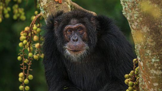 Un chimpancé llamado Yogi
