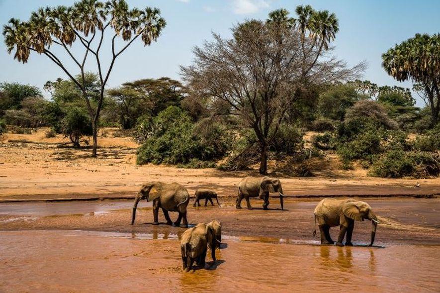 Una manada de elefantes atraviesa el río Sarara, en el parque de conservación de vida silvestre ...