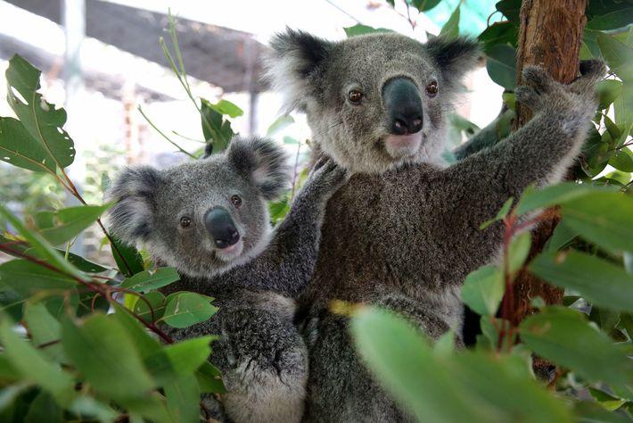 Koalas Julie y Joey