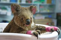 Koala hembra