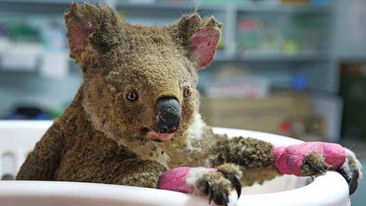 No, los koalas no están «funcionalmente extintos», al menos por ahora