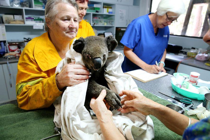 El personal del Hospital de Koalas se ocupa de las heridas de Peter, un koala macho ...