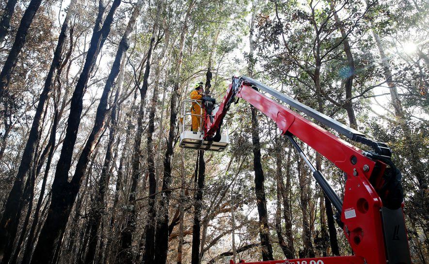 Los voluntarios del Hospital de Koalas de Port Macquarie buscan koalas heridos tras un incendio que ...