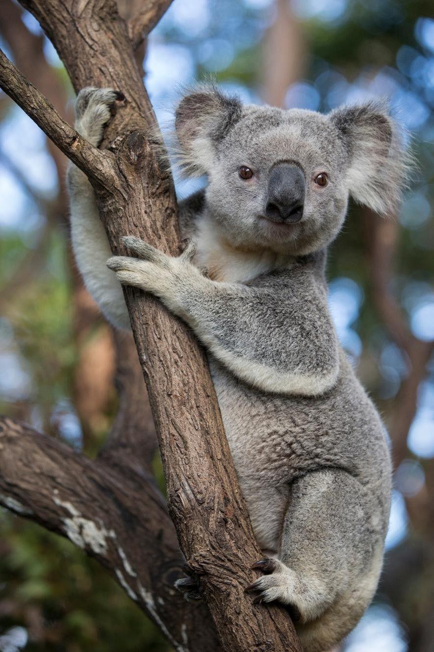Un koala en Queensland, Australia. Estos marsupiales emblemáticos tienen un hábitat extenso a lo largo de ...