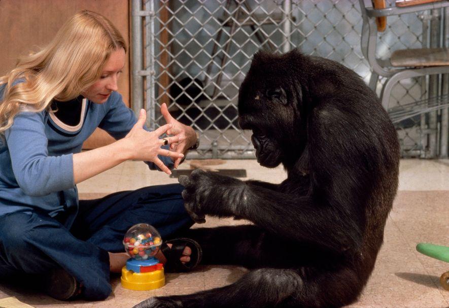 La gorila Koko hace el signo que significa «máquina».