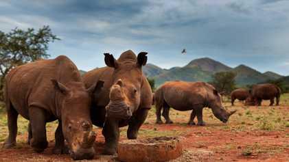 La mayor población de rinocerontes se ha desplomado un 70 por ciento en una década