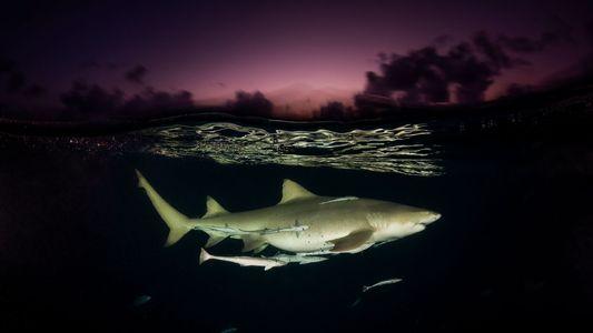 Las mejores imágenes de tiburones, los depredadores del mar