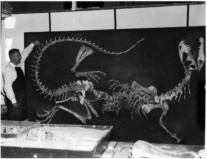 En la Universidad de California, Berkeley, Wann Langston supervisa la reconstrucción del primer esqueleto de Dilophosaurus ...