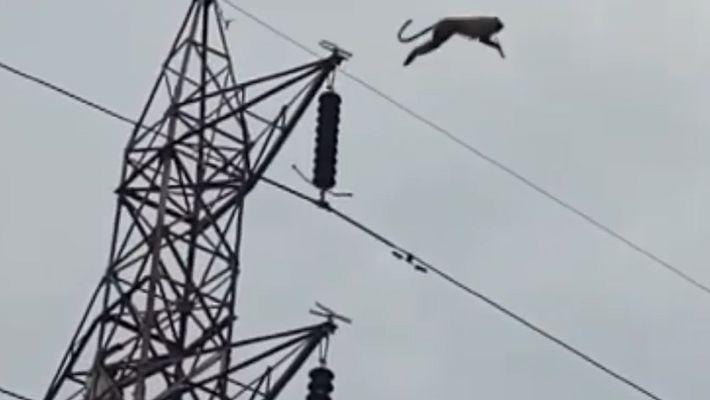 Un langur sobrevive a un increíble salto mortal desde una torre eléctrica