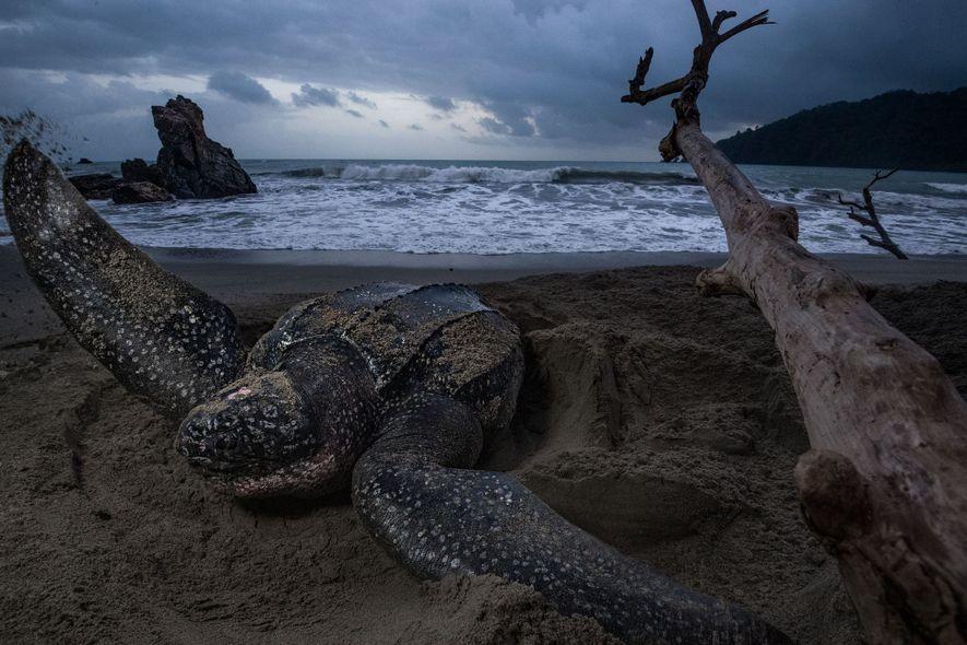 Al amanecer, en la Grande Rivière de Trinidad, una de las playas de anidación más importantes ...