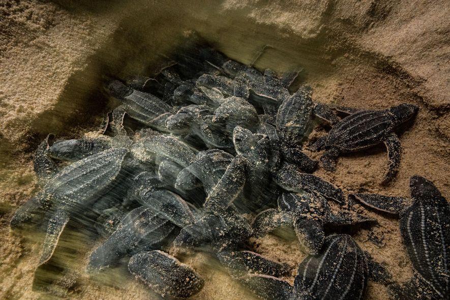Las crías de tortugas laúd salen del nido hasta la superficie. Cuando atraviesan la última capa ...