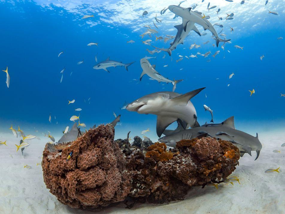 Los tiburones forman «amistades» durante años, lo que desmiente la idea de que son «solitarios»