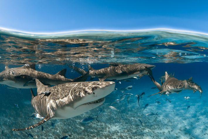 Tiburones limón