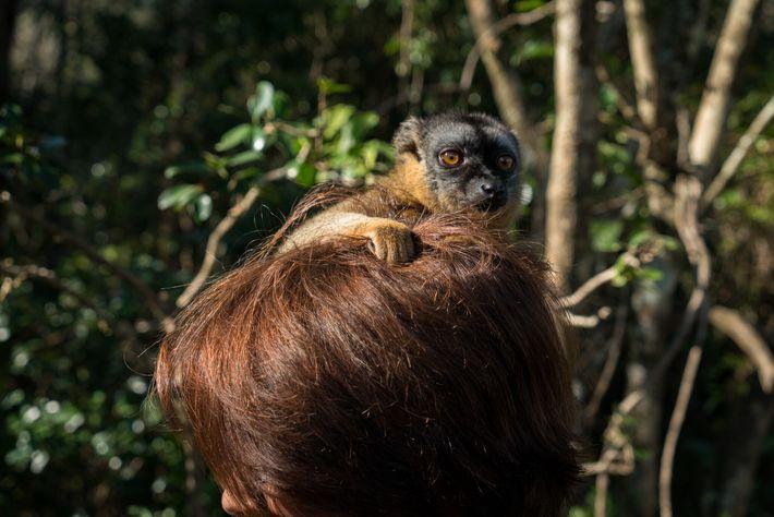 Un lémur pardo se aferra al pelo de una mujer
