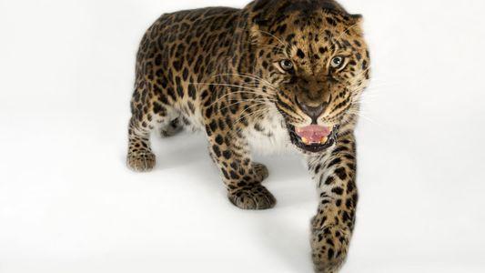 Observa a unos esquiadores cara a cara con el leopardo de las nieves