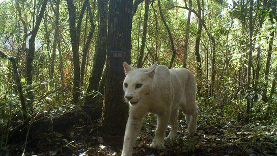 Fotografía de un puma con leucismo