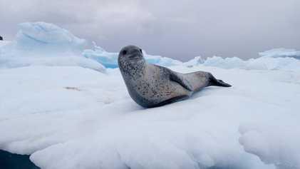 Este superdepredador antártico ha cambiado su dieta