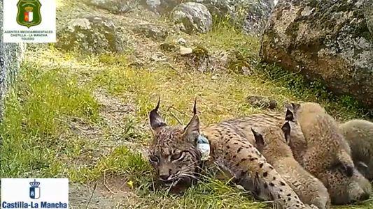 """Identificado el cazador que mató a un lince ibérico con cuatro crías al """"confundirlo con un ..."""