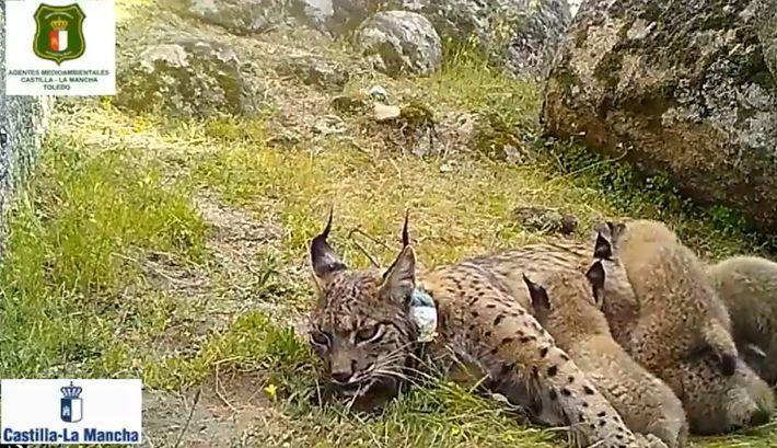 Lince Nenúfar cazador identificado