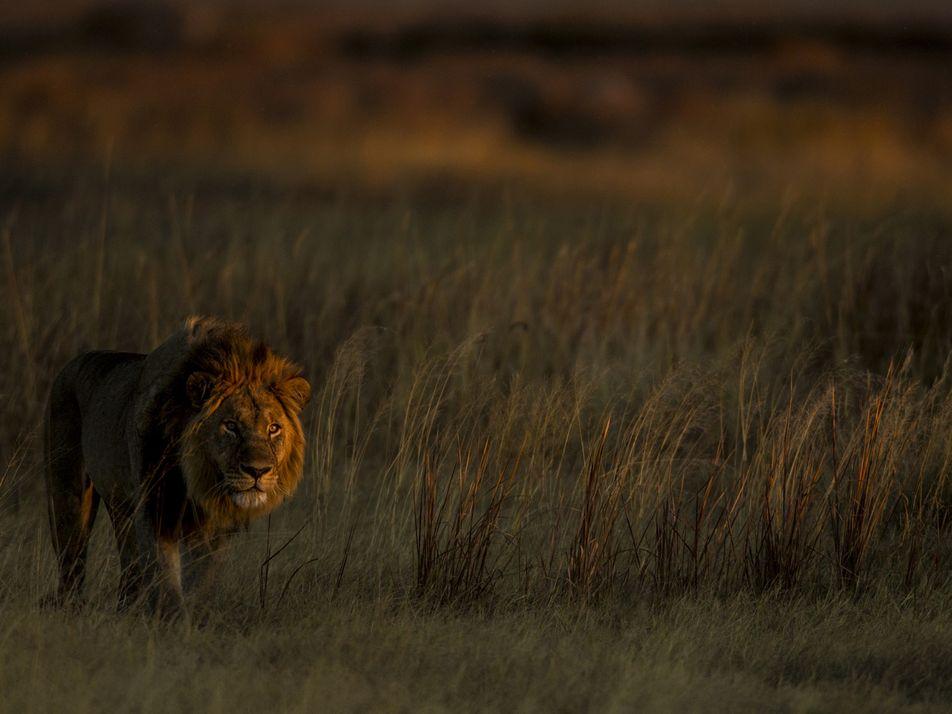 Los leones han reclamado las tierras donde antes los cazaban