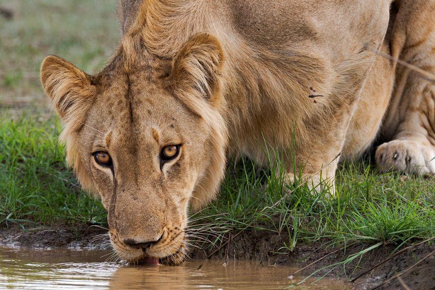 Parque nacional de Pendjari, Benín: Los últimos leones del África Occidental pertenecen a una subpoblación en ...