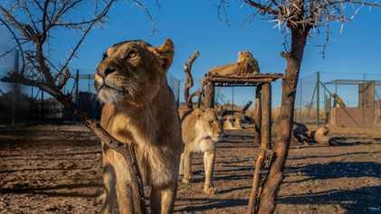 Exclusiva: visitamos una polémica granja de leones sudafricana