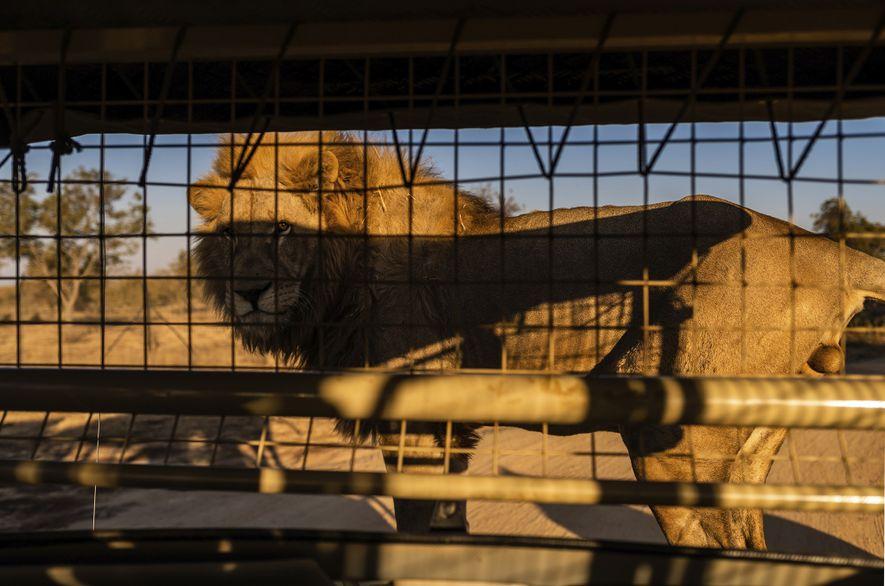 En el Lion & Safari Park de la provincia del Noroeste, se invita a los turistas ...