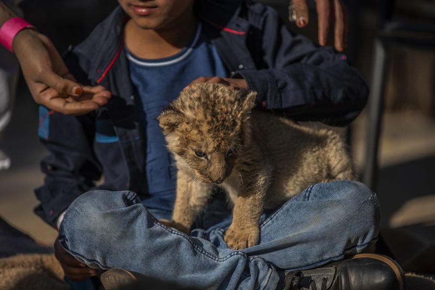 En el parque de depredadores de Akwaaba, en Rustenburg, en la provincia del Noroeste, y otros ...