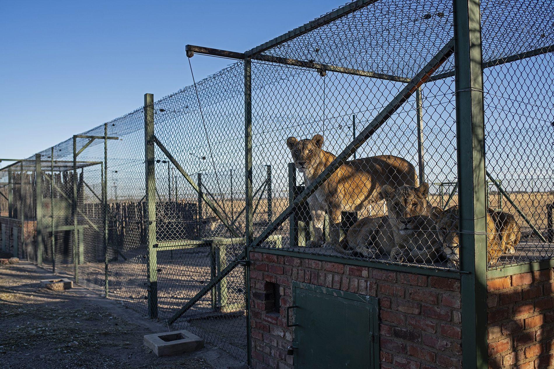 En la granja de Pienika hay decenas de especies enjauladas —no solo leones sino también tigres ...