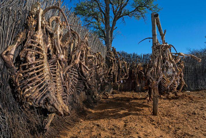 Esqueletos de leones