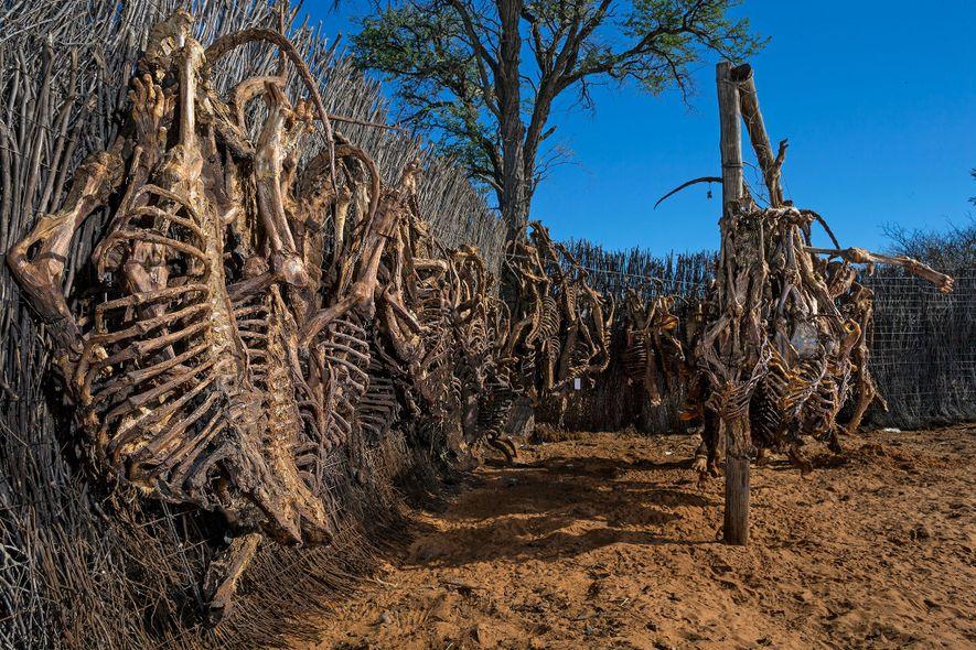 Los esqueletos de leones se secan colgados antes de la exportación. Sudáfrica establece una cuota anual ...