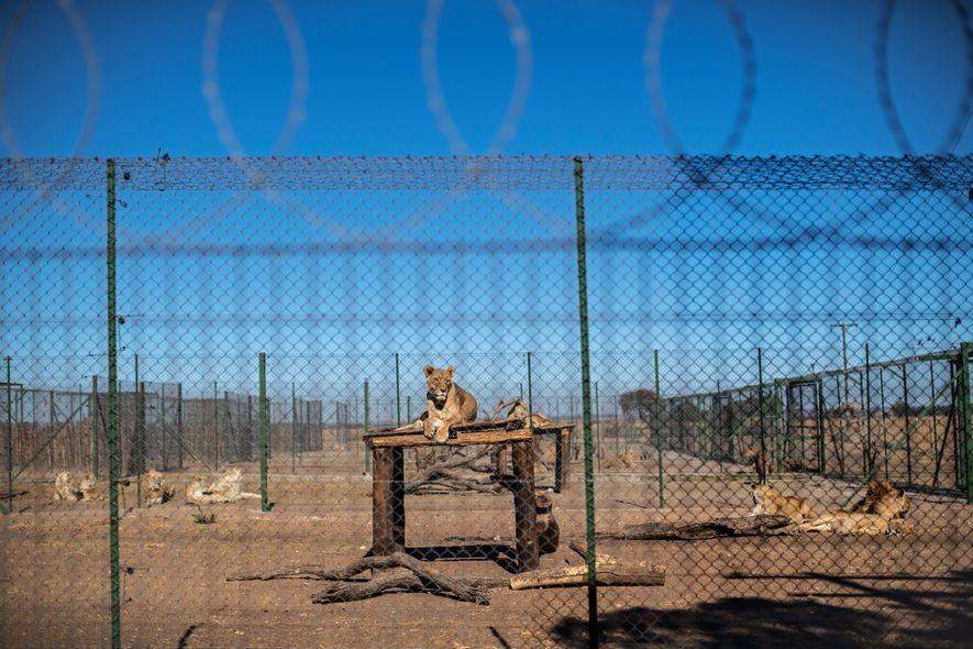 Según las normas y los estándares de la Asociación de Depredadores Sudafricana, de la que es ...
