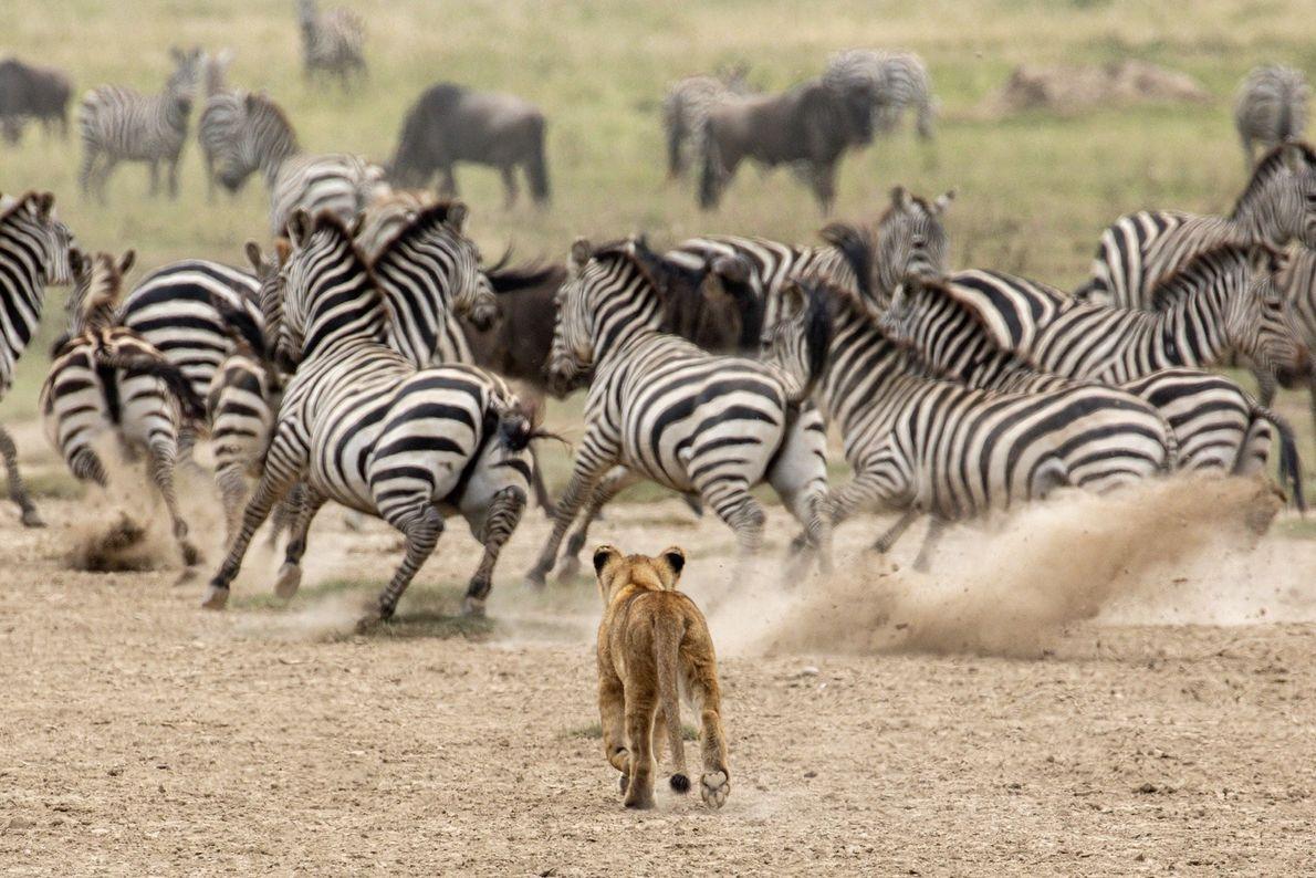 Leones y cebras