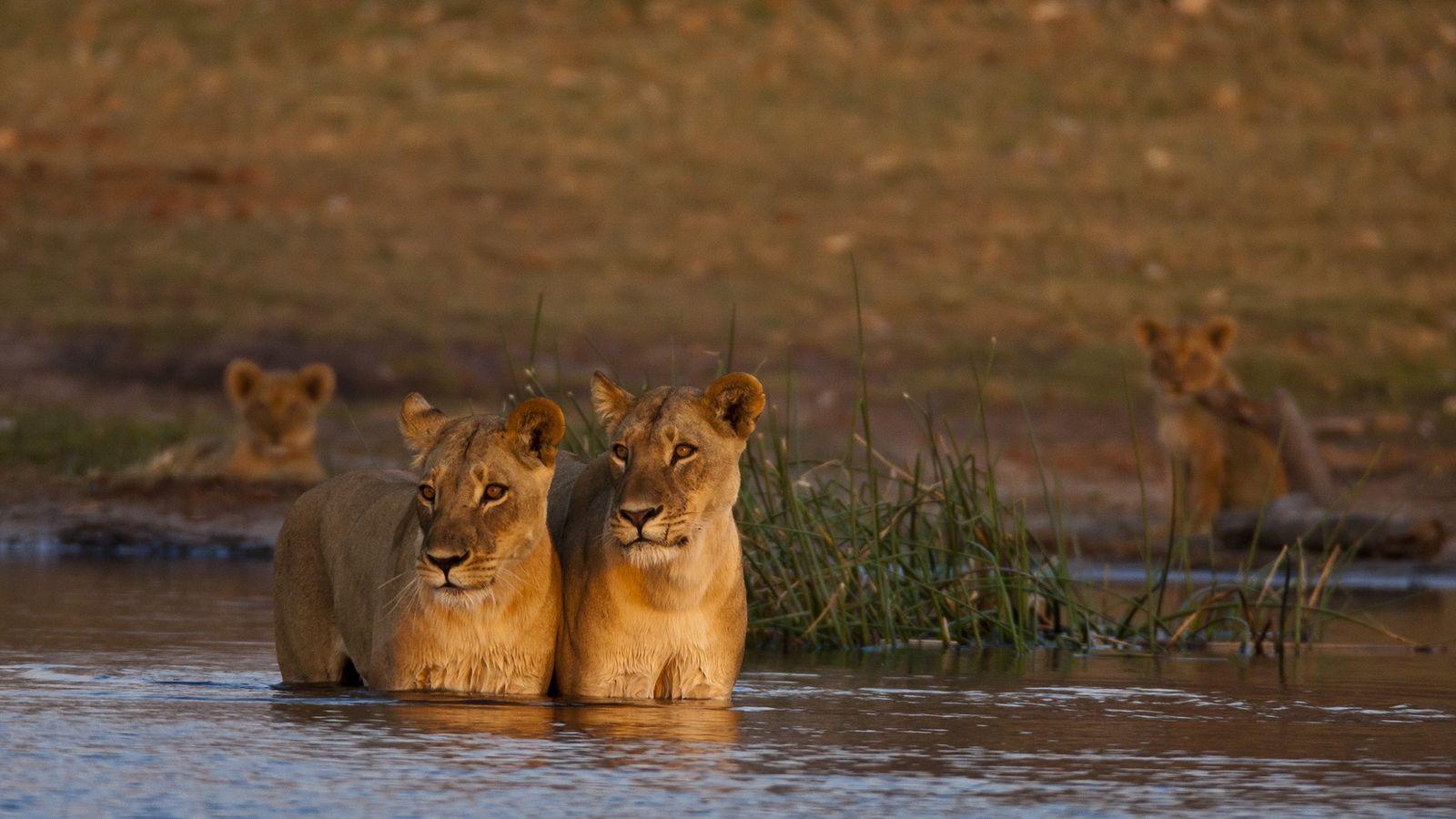 Dos leonas en Selinda