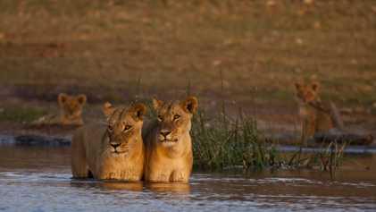 Un cazador furtivo es atacado por un elefante y devorado por una manada de leones